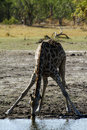 Southern reticulated giraffe drinking with friends from a waterhole yellow billed oxpeckers attached cleaning his neck Royalty Free Stock Photo