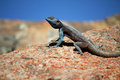 The southern rock agama agama atra seen here perched on a rock in the namaqualand national park in the western cape of south Royalty Free Stock Photos