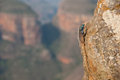 Southern rock agama lizard on a cliff in south africa Royalty Free Stock Image