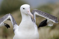 Southern Royal Albatross (Diomedea epomophora ) Royalty Free Stock Photo