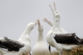 Southern Royal Albatross (Diomedea epomophora ) Stock Photos
