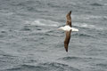 Southern royal albatross flying above the ocean Stock Images