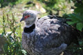 Southern Screamer Royalty Free Stock Photo