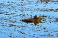 Southern sea otter Enhydra lutris nereis, Royalty Free Stock Photo
