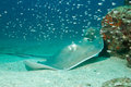 Southern stingray dasyatis americana on sand bottom caño island costa rica Stock Photo