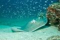 Southern stingray dasyatis americana on sand bottom caño island costa rica Stock Photo