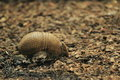 Southern three-banded armadillo Royalty Free Stock Image