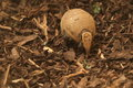Southern three-banded armadillo Stock Images