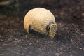 Southern three banded armadillo the adult strolling in the soil Royalty Free Stock Images