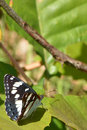 Southern white admiral butterfly this beautiful is a limenitus reducta was taken in france its irredescent wings appear as blue or Royalty Free Stock Photo