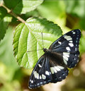 Southern white admiral butterfly this beautiful is a limenitus reducta was taken in france its irredescent wings appear as blue or Stock Photo
