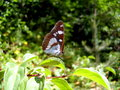 Southern white admiral butterfly close up of a limenitis reducta Royalty Free Stock Photography