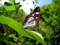 Southern white admiral butterfly close up of a limenitis reducta Stock Image