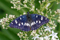 Southern White Admiral (Limenitis reducta) Stock Images