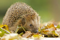 Southern white breasted hedgehog looking for food Stock Image