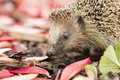 Southern white breasted hedgehog looking for food Royalty Free Stock Image