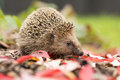 Southern white breasted hedgehog looking for food Stock Photography