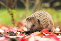 Southern white breasted hedgehog looking for food Royalty Free Stock Photo