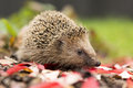 Southern white breasted hedgehog looking for food Royalty Free Stock Images