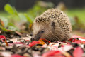 Southern white breasted hedgehog looking for food Stock Images
