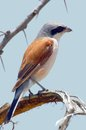 Southern white crowned shrike eurocephalus anguitimens in kruger national park south africa Royalty Free Stock Images