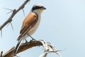Southern white crowned shrike eurocephalus anguitimens in kruger national park south africa Royalty Free Stock Photography