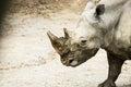 Southern White Rhinoceros Ceratotherium Simum Royalty Free Stock Photo