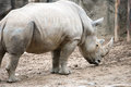Southern white rhinoceros Ceratotherium simum simum at Philadelphia Zoo Royalty Free Stock Photo