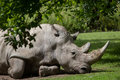 Southern white rhinoceros Ceratotherium simum simum Royalty Free Stock Photo
