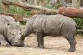 Southern white rhinoceros Royalty Free Stock Photo
