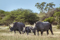Southern white rhinoceros in Kruger National park, South Africa Royalty Free Stock Photo