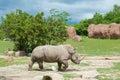 Southern white rhinoceros Royalty Free Stock Photo