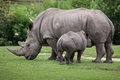 Southern white rhinoceros (Ceratotherium simum simum). Royalty Free Stock Photo