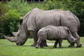 Southern white rhinoceros (Ceratotherium simum simum). Royalty Free Stock Photo