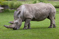 Southern white rhinoceros & x28;Ceratotherium simum simum& x29;. Royalty Free Stock Photo