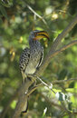 Southern yellow billed hornbill in tree Royalty Free Stock Images