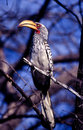 Southern yellowbilled hornbill a taken in central kalahari game reserve Stock Images