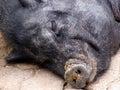 Sova för 2 pig Arkivbild