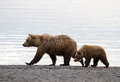 Sow and cub grizzly with at dawn walking on the beach Stock Photography
