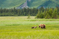 Sow and cubs adult female alaskan coastal brown bear standing in meadow with two young Stock Image