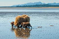 Sow and cubs clamming adult female alaskan coastal brown bear searching for clams with two first year Stock Image