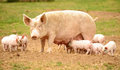Sow with feeding piglets stood in field Royalty Free Stock Images