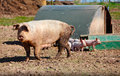 Sow pig and piglets on a farm Stock Image