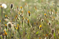 Sow thistle Royalty Free Stock Photo