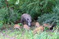 Sow with young willd pigs wild boar feeds on the edge of the forest Royalty Free Stock Photos