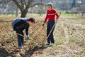 Sowing potatoes people potato tubers into the plowed soil Royalty Free Stock Image