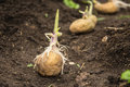 Sowing potatoes Royalty Free Stock Photo
