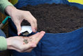 Sowing seeds in the prepared container with garden soil Royalty Free Stock Photo
