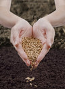 Sowing wheat Royalty Free Stock Photography