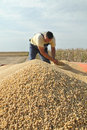 Soy bean harvesting Royalty Free Stock Image
